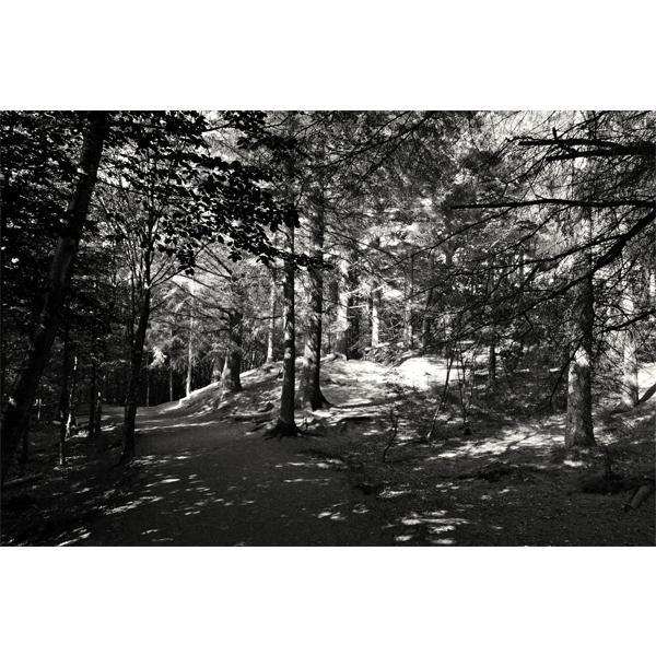 Forrest - sort/hvid fotografi fra Wolfdesign - Få det som plakat fyrretræ,eller på lærred,