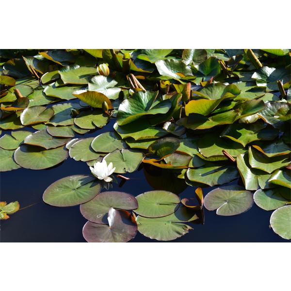Åkander - søens smukke blomst - foto fra Wolfdesign