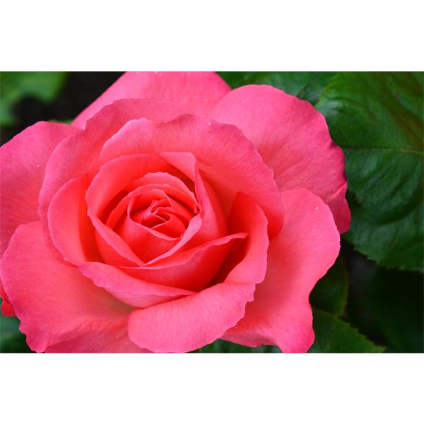 Den pinke rose - fotografi fra Wolfdesign