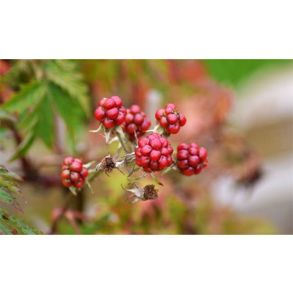 Brombær - frugter fotografier fra Wolfdesign